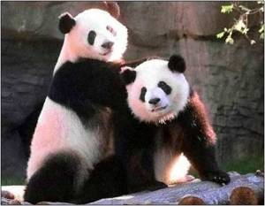 Panda 6